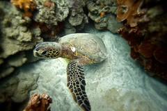 turtle (bluewavechris) Tags: ocean sea nature water coral swim canon hawaii sand underwater snorkel turtle reptile wildlife dive shell maui housing honu reef flipper seasea