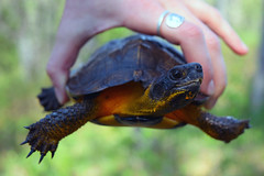 Head turn Wood Turtle (U.S. Fish and Wildlife Service - Midwest Region) Tags: wood turtle research upper midwest riverine habitat improvement project riverne michigan state wildlife competitive grant spring study monitoring population dnr department natural resources phase repitle
