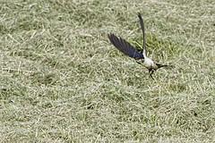 Hirondelle_DSC7837_DxO (jackez2010) Tags: ilca77m2 sal70400g2 bif birdinflight