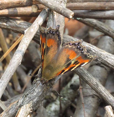 Aglais cashmirensis aesis, Indian Tortoiseshell (Birdernaturalist) Tags: nepal butterfly nymphalidae nymphalinae richhoyer
