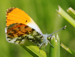 Male Orange-Tip Butterfly (Chris Kilpatrick) Tags: chris france nature grass animal canon butterfly garden insect outdoor wildlife picardie orangetip canon60d autreppes