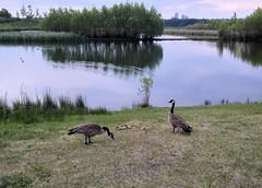 Goose family (OldDogNewTrick) Tags: calgary pond canadagoose westcampus