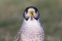 Googly Eyes @@ (satochappy) Tags: park wild sydney australia nsw googlyeyes noisyminer