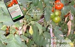 Palchi troppo distanziati nella coltivazione del pomodoro (giardinaggio) Tags: pomodori orto lorto coltivare