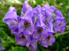 Aconitum napellus (yewchan) Tags: flowers flower nature colors beautiful beauty closeup garden flora colours gardening vibrant blossoms blooms lovely monkshood aconitum aconitumvariegatum