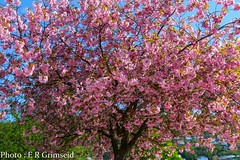 Cherry blossom (2000stargazer) Tags: flowers light tree nature canon spring flora may cherryblossom