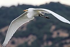 egret whiteegret birdinflight lasgallinaswildlifeponds