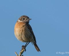 Trop belle... (Rgis B 31) Tags: europeanstonechat muscicapids passriformes saxicolarubicola tarierptre arige bird domainedesoiseaux mazres oiseau