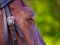 Horse eye close up. (Alejandro Hernández Valbuena) Tags: horse brown color detail eye nature beautiful beauty up look animal horizontal closeup outside mammal bay daylight day looking close image outdoor farm nobody equestrian stallion equine mane sorrel