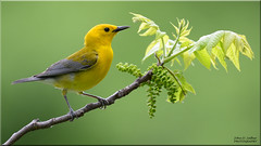 Prothonotary Warbler (Windows to Nature) Tags: