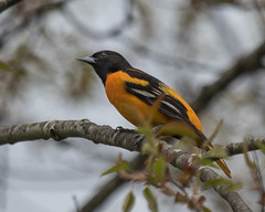 Baltimore Oriole (J.B. Churchill) Tags: baor baltimoreoriole birds blackbirdsorioles broadfordlake garrett maryland places taxonomy oakland unitedstates us