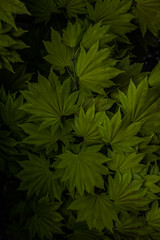 50 Shades of Green - Acer May 2016 (GOR44Photographic@Gmail.com) Tags: tree green leaves canon leaf shadows acer 60d 2035mmf3545 gor44