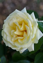 Winter Sun (Niki Gunn) Tags: flowers roses flower macro rose pentax may tamron 90mm k5 tamron90mm 2016 tamron90mmf28 tamron90mmmacro tamronspaf90mmf28