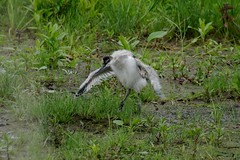 IMGP9062 Avocet (chick), Welney Washes, June 2016 (bobchappell55) Tags: wild bird nature young reserve chick wetlands trust wildfowl avocet welney wader washes