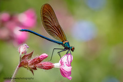 Beautiful Demoiselle (m) (Explored 7 June 2016) (ABPhotosUK (Thanks for 600 followers)) Tags: macro animals canon wildlife devon nocrop dartmoor damselflies invertebrates odonata zygoptera beautifuldemoiselle calopteryxvirgo ef25mmextensiontube eos7dmarkii ef100400mmisii