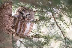 Pining for Nightfall (ardvorak79) Tags: aegoliusacadicus northernsawwhetowl sawwhetowl owl