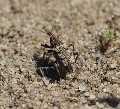Coniocleonus hollbergi (Fahaeus, 1842) (Phil Arachno) Tags: germany hessen deu arthropoda coleoptera insecta curculionidae hexapoda mnchbruch