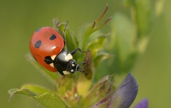 LittleCritter (Tony Tooth) Tags: macro nature insect nikon wildlife micro ladybird 40mm nikkor oxfordshire tackley d7100