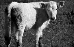 3320 (Max D. Machy) Tags: flowers cute chartreuse pasture savoie calf prealps whitecalf entreguiers