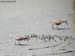 Curlew Sandpiper & Dunlin - Heislerville WMA Heislerville, NJ - 05/20/2016 (kdxshiryu) Tags: nature birds sandpiper dunlin curlew