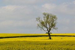 lone tree (C-Smooth) Tags: tree nature yellow landscape nikon alone springtime rapeseedfield csmooth d3100 stefanocabello