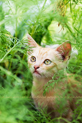 Sam in the garden jungle (Maria Dattola) Tags: orange macro green nature animal vertical closeup cat daylight eyes kitten bokeh wildlife details nopeople copyspace brightness domesticcat freshness mariadattola cosmeaplant thejunglecat