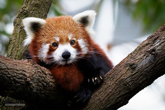 Red Panda (syphrix photography) Tags: singapore river safari zoo wildlife reserve red panda ailurus fulgens lesser mammal eastern himalayas southwestern china reddishbrown fur shaggy tail arboreal endangered species conservation syphrix 2016 canon