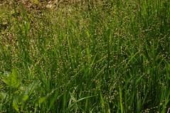 Wald-Gras); Bergenhusen, Stapelholm (143) (Chironius) Tags: stapelholm bergenhusen schleswigholstein deutschland germany allemagne alemania germania    ogie pomie szlezwigholsztyn niemcy pomienie commeliniden ssgrasartige poales ssgrser poaceae gras grser herbe gramines grass grasses erba   pooideae