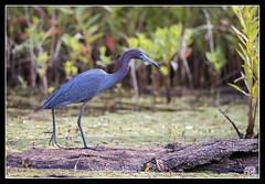 Little Blue (DTT67) Tags: heron nature birds canon wildlife maryland nationalgeographic littleblueheron northpointstatepark 500mmii 1dxmkii