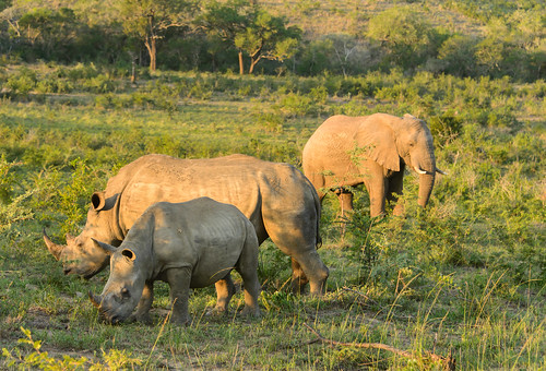 Kruger National Park, South Africa - Two Giants : Rhinos & Elephant