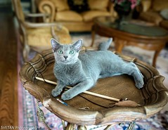 ONE CAT SHOW (RUSSIANTEXAN) Tags: blue usa pet cat photography nikon kitten texas houston lovely russian purring d4 anvar khodzhaev svetan