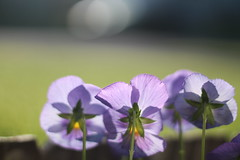 Dancing in trio... (MomOfJasAndTam) Tags: flowers light sun sunlight flower spring flora purple dancing pansies backlighting