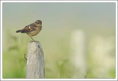 l'oenologue (guiguid45) Tags: bird nature oiseaux sauvage loiret stonechat 500mmf4 d810 tarierpâtre passereaux saxicolatorquato