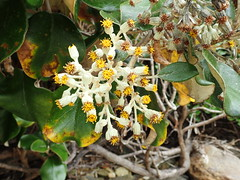 Flowers of Brachyglottis rotundifolia var. rotundifolia (dracophylla) Tags: newzealand asteraceae codfishisland muttonbirdscrub whenauhoa brachyglottisrotundifoliavarrotundifolia