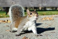 Squirrel (KPPG) Tags: squirrel nature tier outdoor florida plantation samsungnx nx3000 7dwf animal extérieur écureuil