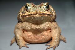 Frog King (Arzivenkos) Tags: wild nature animal grande big nikon d70 natureza frog sapo bicho selvagem enorme anfbio anuro