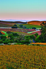 The Full Pallete of Fall (Port of Oakland Photo Library) Tags: california sunset wild moon west color art fall nature beauty landscape unitedstates pacific outdoor vacaville conservation environmental winery rows grapes napa pacificnorthwest environment wilderness pnc conserve ropelato jaredropelato ropelatophotography