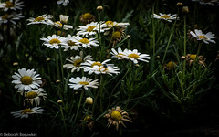 Daisy once (Dashtropie) Tags: summer plant nature daisies daisy plantlife margriet 2016