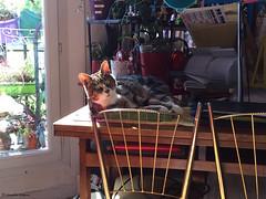 Lichaise (alexandrarougeron) Tags: lili poupouce chat chatte cat poli oeil moustache beaut belle beau magnifique excellent rebelle douce bisous clin canaille paris lige montmartre douceur gentille poil fourrure minou