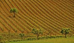 val d'Orcia : un lieu , 2 versions ... (jean-marc losey) Tags: italia vert toscana valdorcia toscane arbre vigne italie graphisme d700