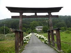 White ajisai on Rt 299 (Stop carbon pollution) Tags: flickr japan  saitamaken  chichibu  34kannonpilgrimage