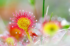 Pink Lady (Rainer Schund) Tags: pink 2 macro nature nikon natur 8 28 moor makro 105mm sonnentau fleischfressend natureexploring tierundpflanzen