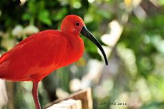 Scarlet Ibis (Jeff Ore) Tags: tampa florida bird scarlet ibis endocimus ruber mammal wader plumage feathers wings