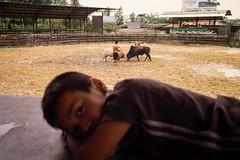 * (Sakulchai Sikitikul) Tags: street leica boy film 35mm thailand kodak streetphotography snap bull summicron songkhla bullfight m6 hatyai