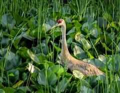 Out Wading (Wes Iversen) Tags: nature birds brighton michigan wildlife grasses milford sandhillcranes spatterdock kensingtonmetropark tamron150600mm
