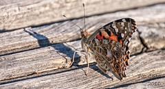 Vanessa cardui (Pat Celta) Tags: macro beauty butterfly flora nikon d70 mariposa mariposas macrofotografa