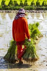 ChiangRai_7808 (JCS75) Tags: canon thailand asia asie ricefields chiangrai thailande rizire