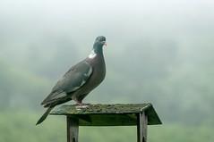 Wood pigeon (.Hogan.) Tags: mist nature birds fog nikon wildlife birding avian d300 woodpigeon 300mmf4 sandyhills dumfiresgalloway