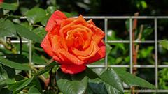 Rose (ursula.kluck) Tags: flower drops natur blte wassertropfen redroses schrfentiefe roterose wasserpark