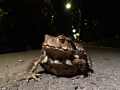 Bufo japonicus formosus (Shiori Hosomi) Tags: june japan night tokyo nocturnal amphibians bufo 2016  anura bufonidae    noctuary     noctivagant  23